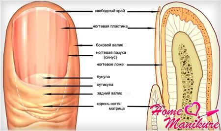 строение ногтевой пластины на примере большого пальца
